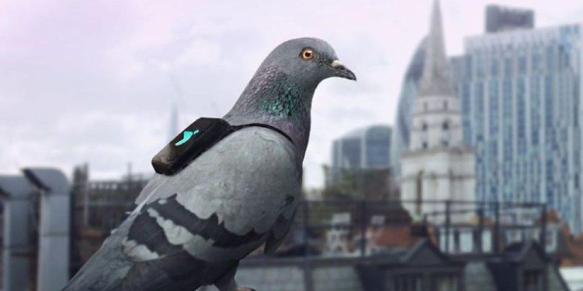 Un escuadrón de palomas para medir la contaminación atmosférica