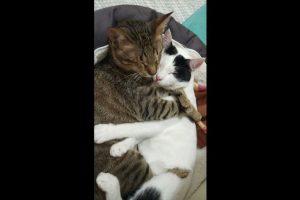 Tras su adopción en 2015, los tres felinos se han adaptado a su nuevo hogar. Foto:Facebook Three Blind Cats. Imagen Por: