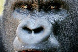 Las fotografías muestra el cuerpo del primate decapitado y desmembrado. Foto:AP. Imagen Por:
