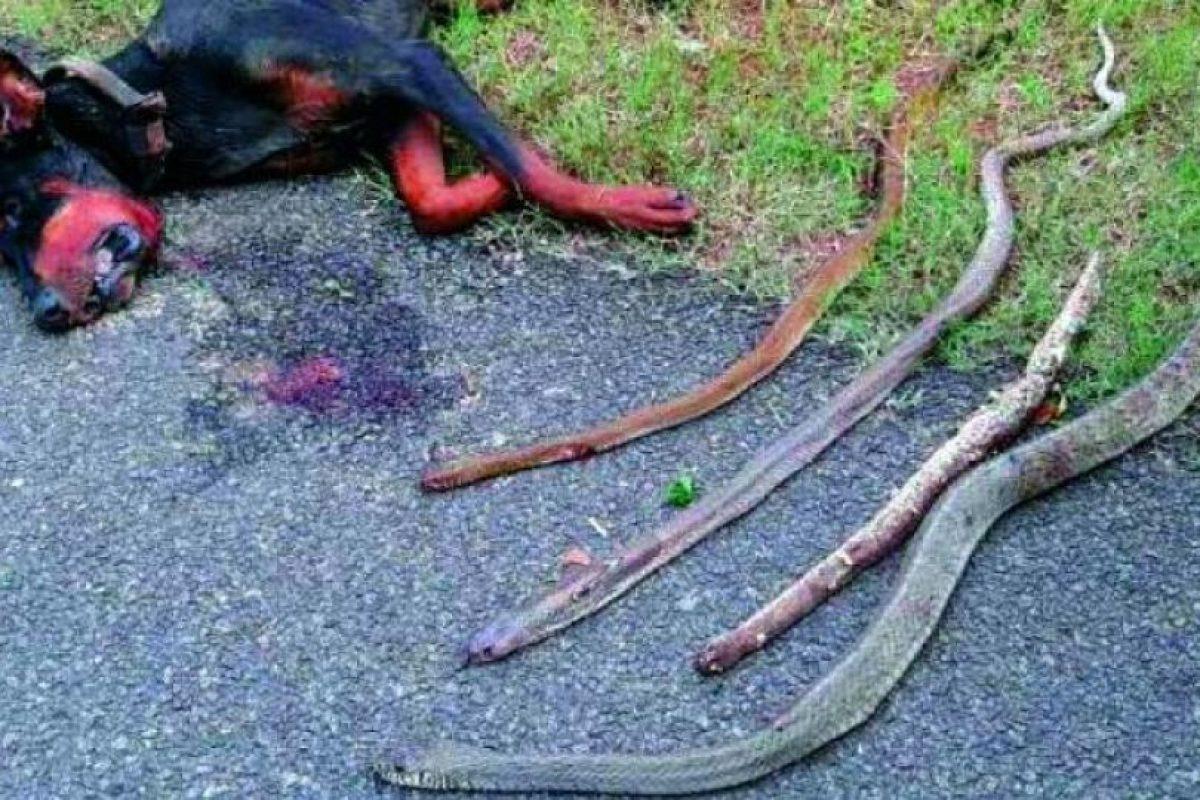 El perro falleció por las mordeduras de las cobras Foto:Twitter.com/hairydel. Imagen Por: