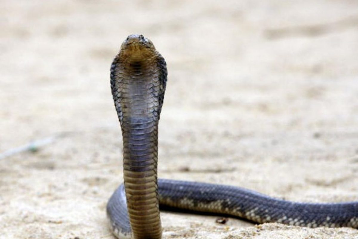 Lo que deben saber de las mordeduras de serpiente, según la OMS Foto:Getty Images. Imagen Por: