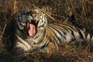 Además de tigres hay lobos, jirafas, leones, entre otras especies. Foto:Getty Images. Imagen Por: