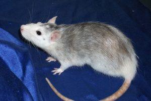 Las especies que el gobierno de Nueva Zelanda quiere erradicar Foto:Pixabay.com. Imagen Por: