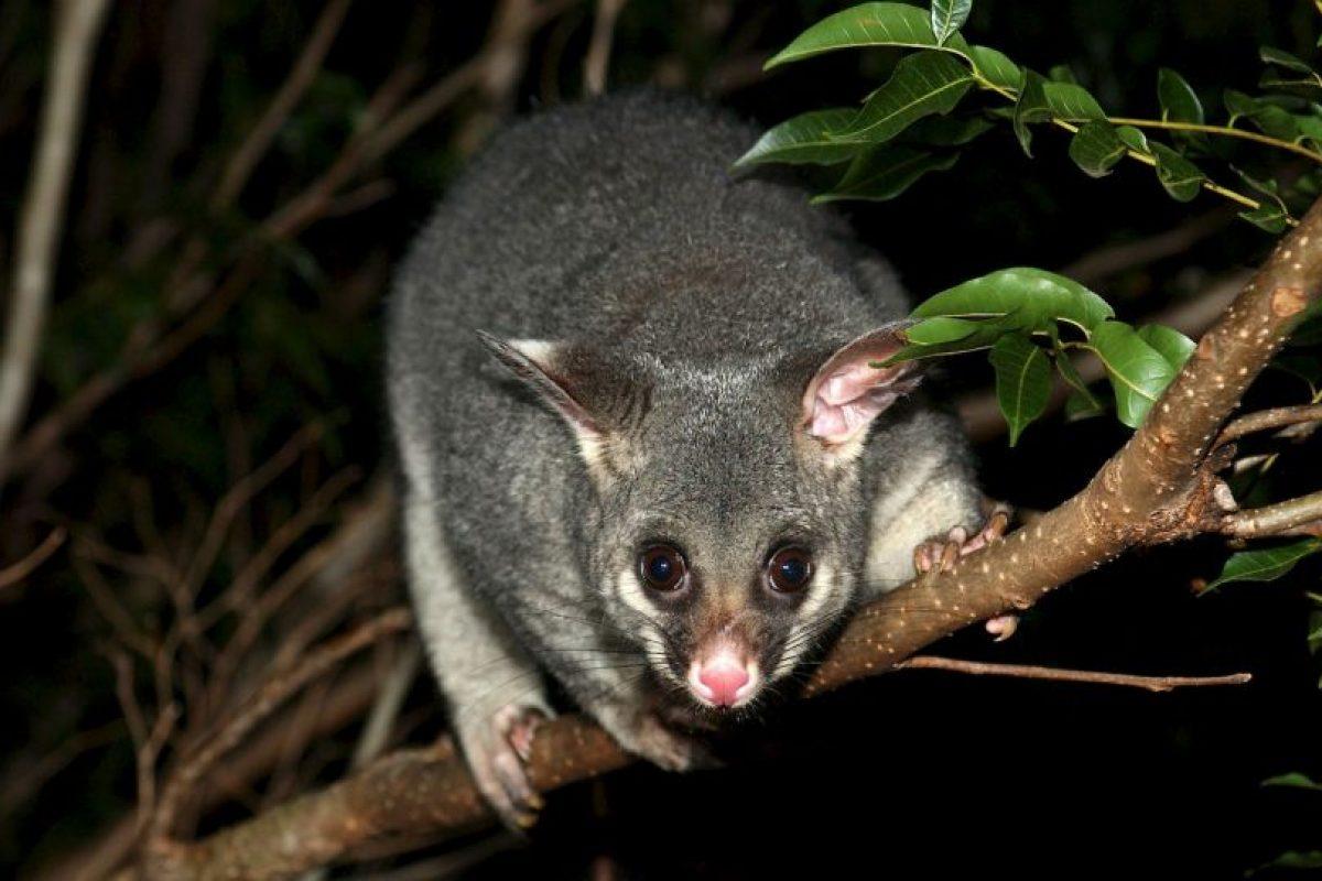 Están relacionados con las zarigüeyas Foto:Wikimedia. Imagen Por: