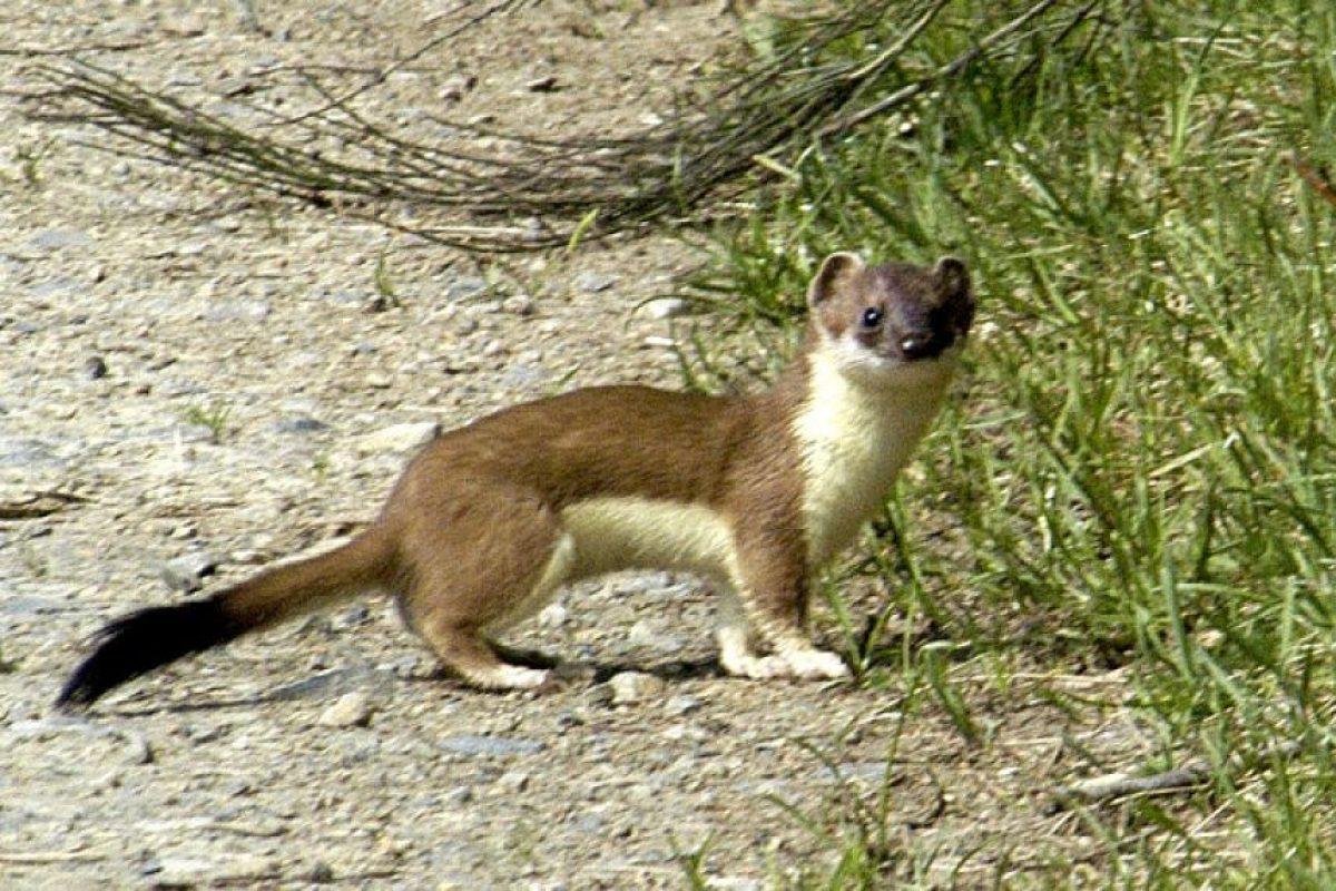 Armiños Foto:Wikimedia. Imagen Por: