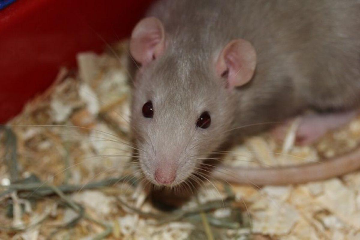 Ratas: los primeros registros datan del siglo X Foto:Pixabay.com. Imagen Por: