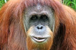 Ningún otro orangután puede hacer lo que Rocky. Foto:Getty Images. Imagen Por: