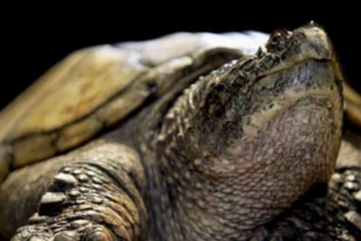 El escritor griego Esquilo fue aplastado por una tortuga que cayó del cielo. Le profetizaron que moriría al caerle una casa encima. Foto:Wikipedia. Imagen Por: