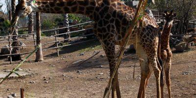 """Buin Zoo presenta a """"Pio"""": la primera cría de jirafa nacida en el recinto"""