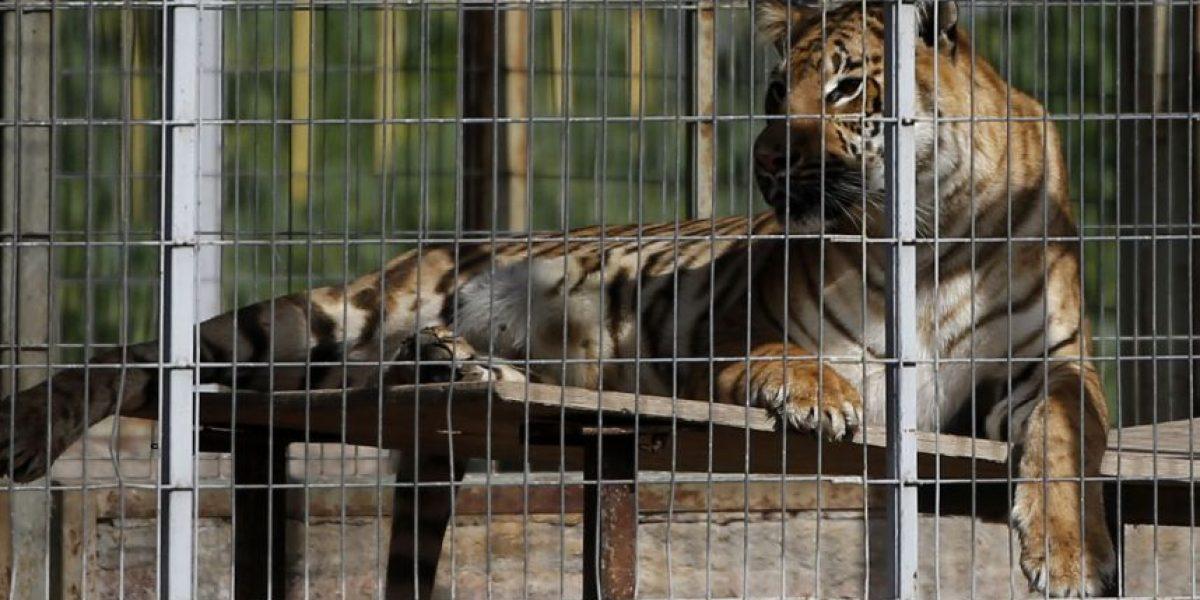 Trasladan hasta el Zoológico Metropolitano a tigre del circo Los Tachuelas