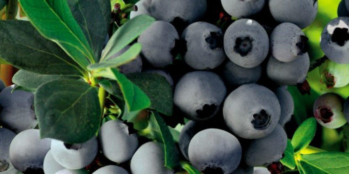 Los arándanos podrían convertirse en la fruta chilena con mayor valor de exportaciones