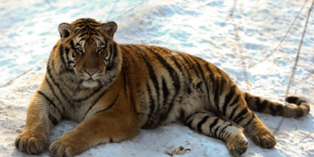 Un tigre le salva la vida a su cuidador cuando lo atacó un leopardo