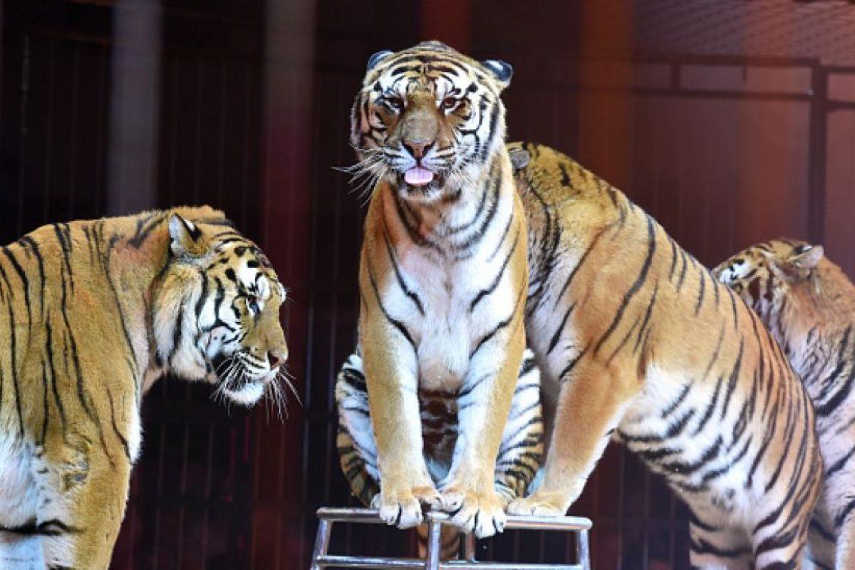 3. Está en peligro de extinción Foto:Getty Images. Imagen Por: