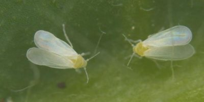 """La """"súper mosca"""" resistente a los pesticidas que amenaza los cultivos en EEUU"""