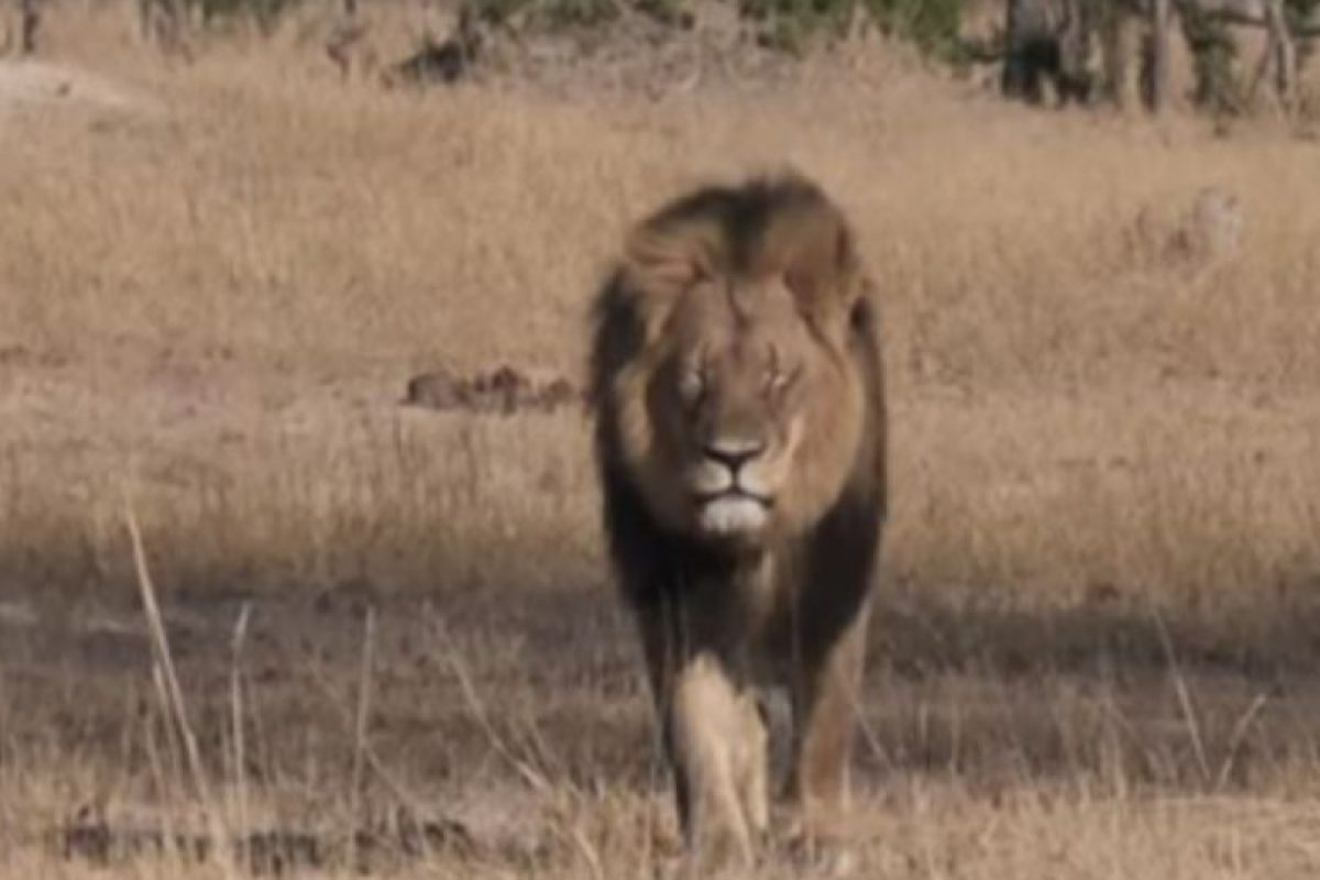 Cecil fue asesinado por Walter Palmer el año pasado. Foto:vía AFP. Imagen Por: