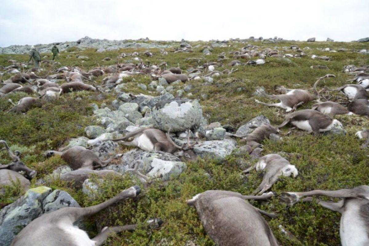 """""""Es algo inhabitual. Nunca antes habíamos visto algo similar a una escala tan grande"""", dijo el funcionario de la Dirección noruega de medio ambiente, Kjartan Knutsen, sobre los animales. Foto:Afp. Imagen Por:"""