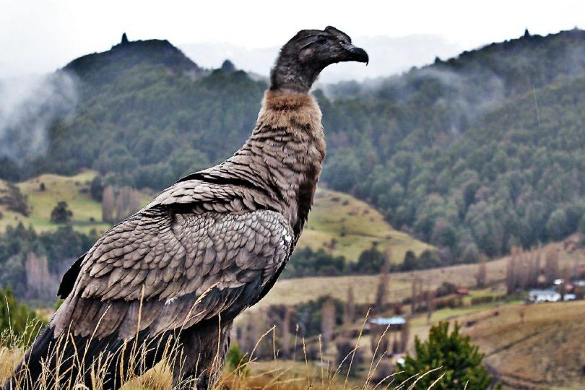 Funcionarios SAG liberaron dos aves silvestres en los alrrededores de Coyhaique. Foto:Gentileza. Imagen Por:
