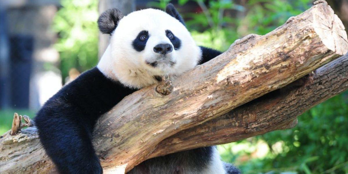 El panda gigante sale de la lista de especies en peligro de extinción