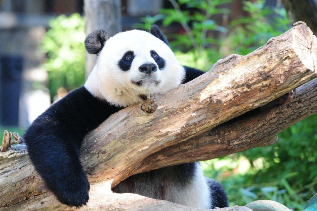 Actualmente habitan en las regiones chinas de Sichuam Shaanxi y Gansu unos 1.864 pandas. Foto:Efe. Imagen Por:
