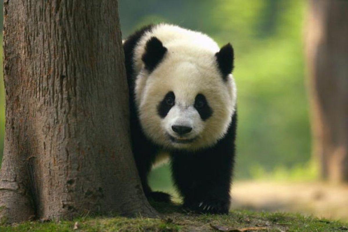 Un panda adulto puede llegar a pesar hasta 150 kg Foto:Getty Images. Imagen Por:
