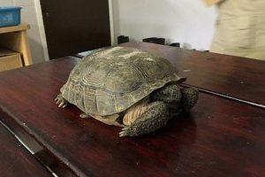 La tortuga de la especia Gopherus Polyphemus, que se encuentra en vía de extinción fue llevada a un refugio de animales donde se encuentra en recuperación. Foto:Reproducción. Imagen Por:
