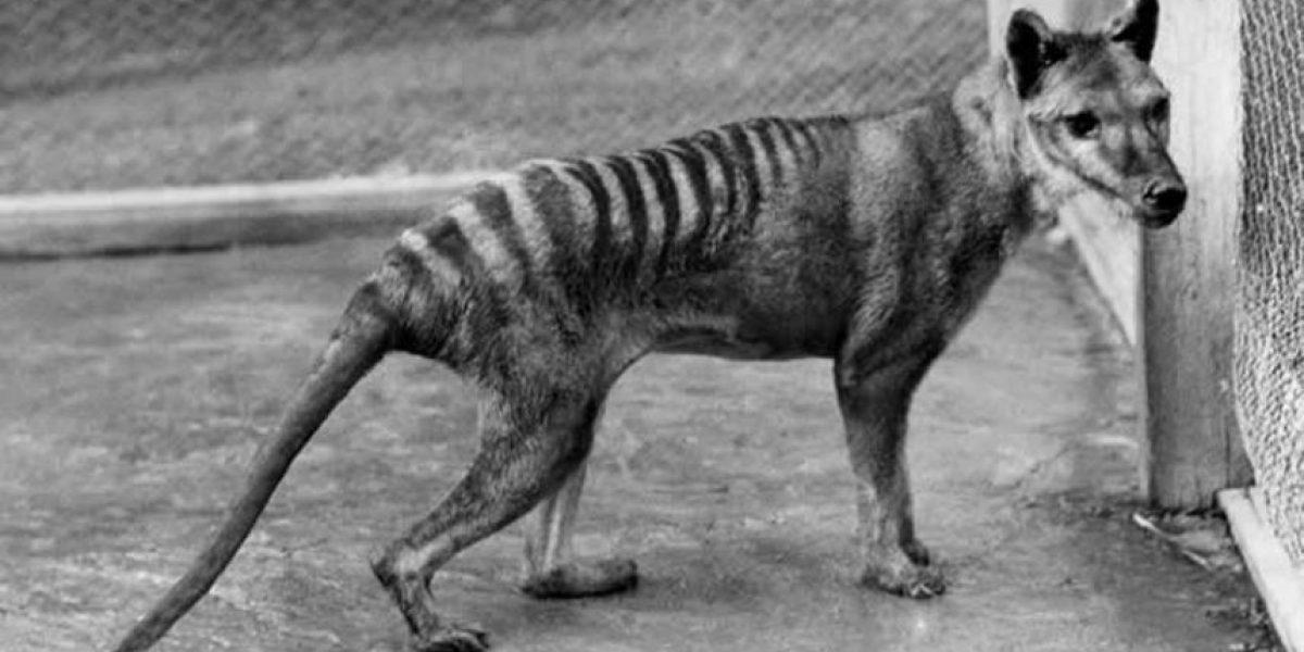 El día en que falleció el último de los lobos marsupiales de Tasmania