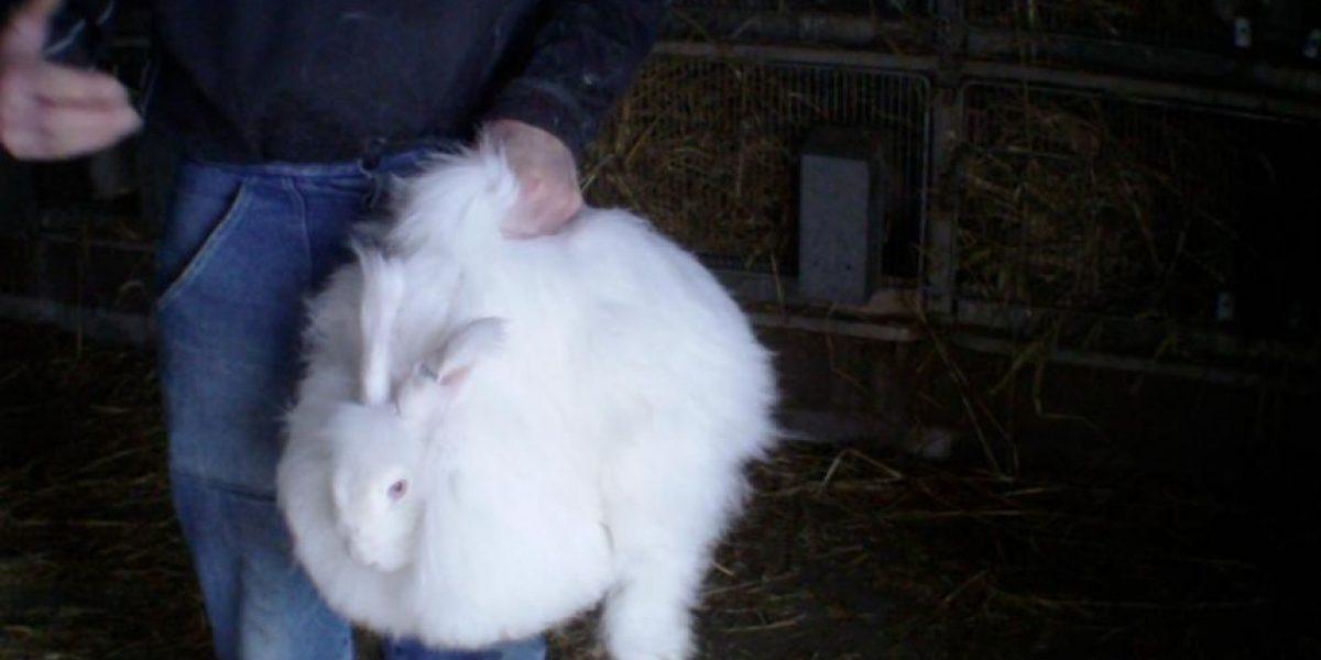 El impactante registro del maltrato a crías de conejos de angora para obtener su pelo