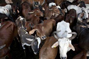 La nueva norma establece la necesidad de implementar una reducción en las emisiones de metano procedentes de las operaciones de gestión de estiercol de ganado y las operaciones de manejo de estiercol lácteo. Foto:Getty. Imagen Por: