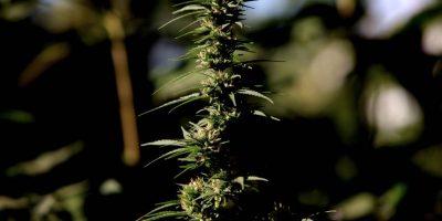 Comisión de Salud rechazó indicación que consideraba ilegal el autocultivo de marihuana sin autorización