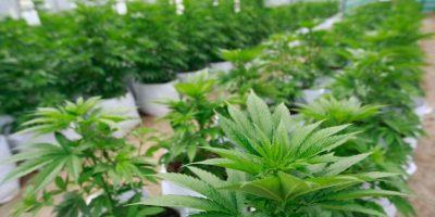 Aprueban primer registro sanitario de medicamento fabricado en base a cannabis