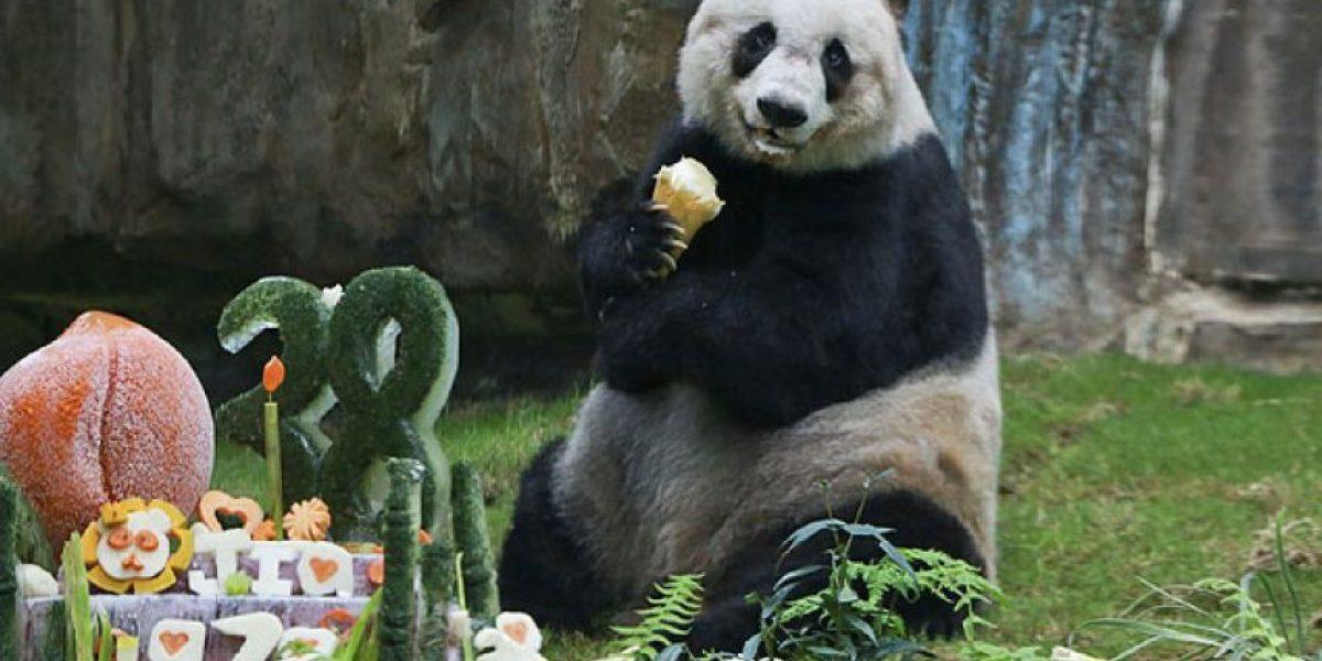 Tristeza mundial: muere Jia Jia, la osa panda más longeva del planeta