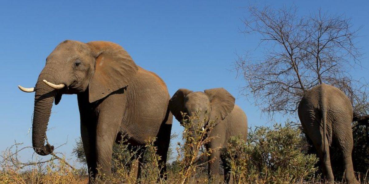 Elefante se lanza al río para rescatar a su cuidador
