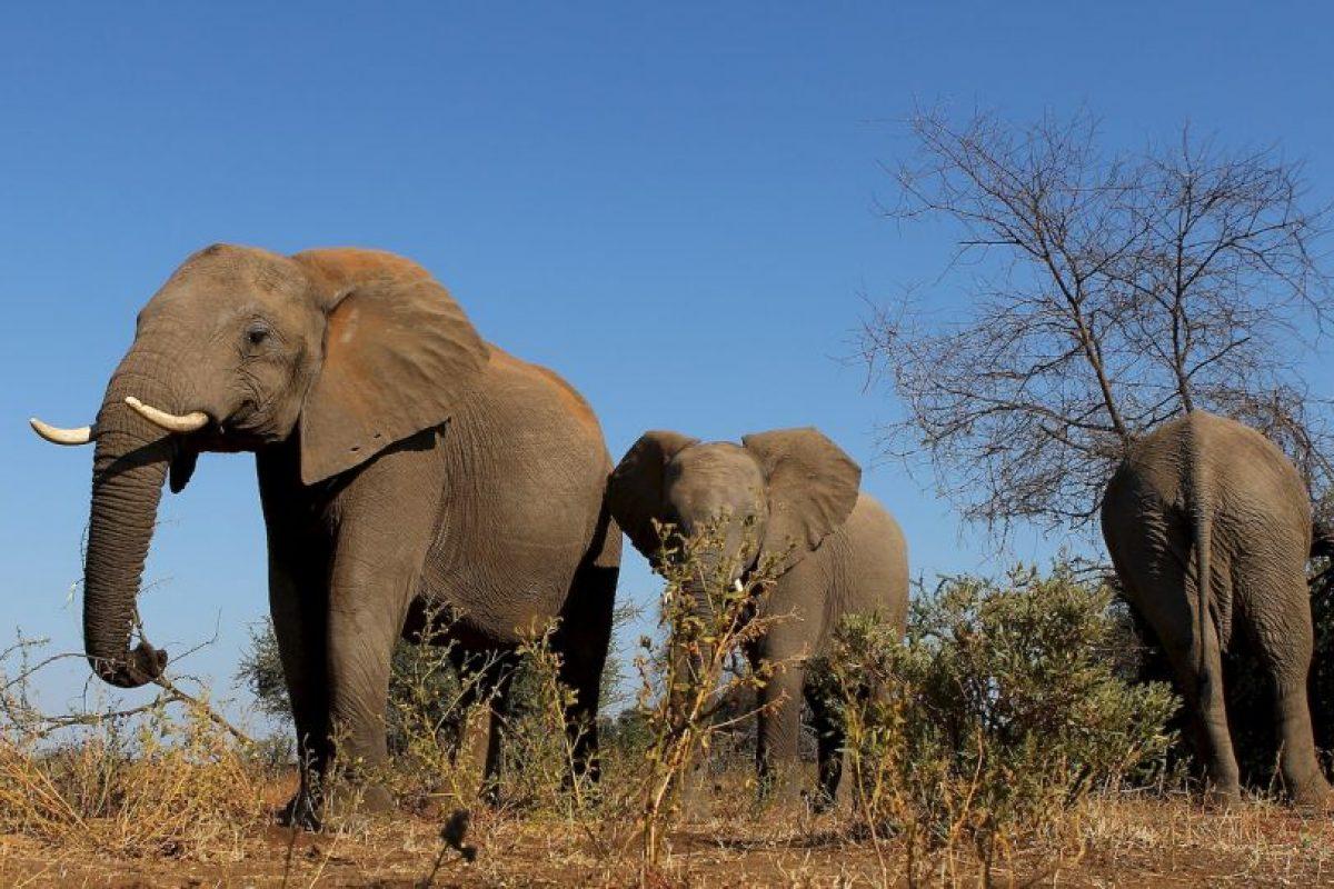 Datos a conocer sobre los elefantes Foto:Getty Images. Imagen Por: