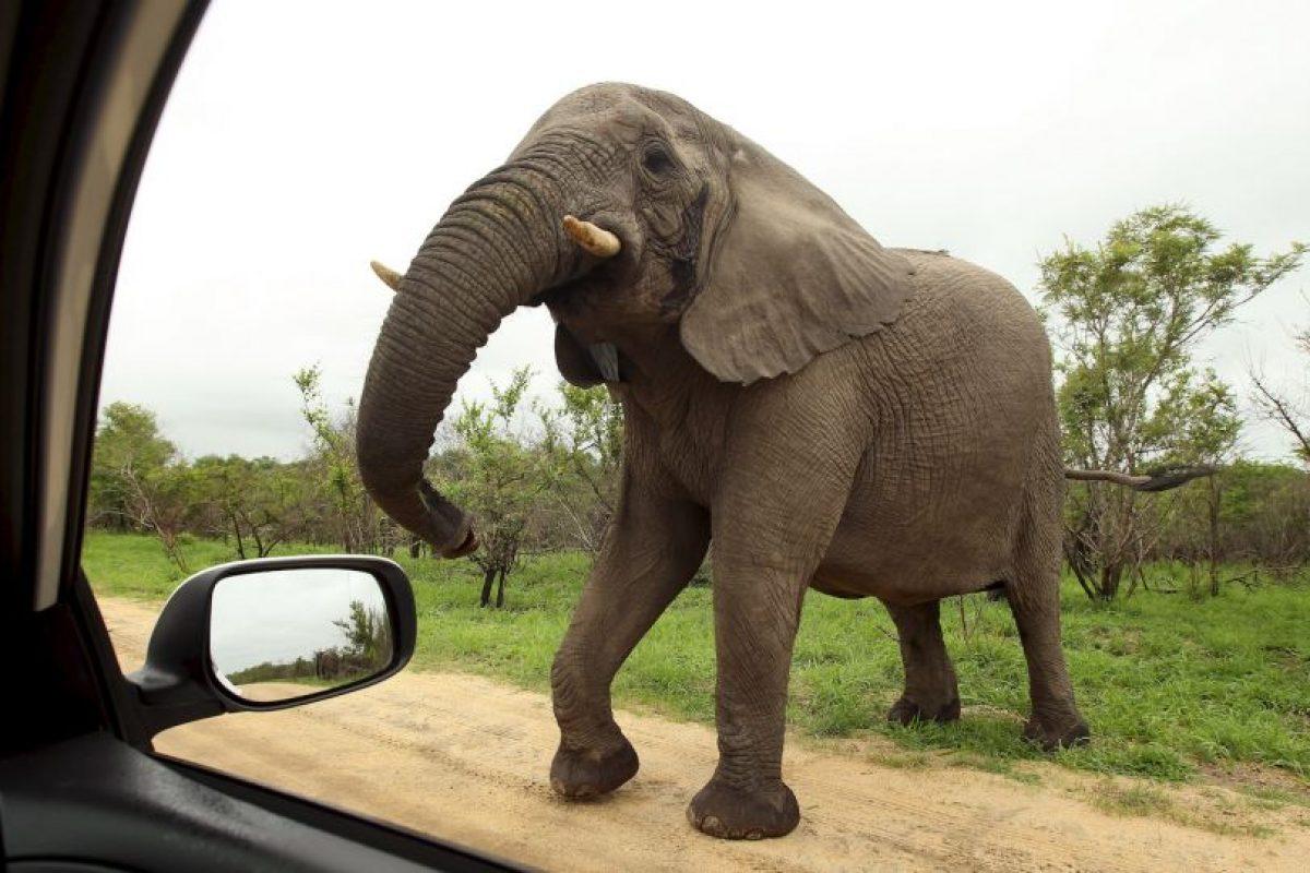 El elefante africano es el más grande de todos los mamíferos terrestres Foto:Getty Images. Imagen Por: