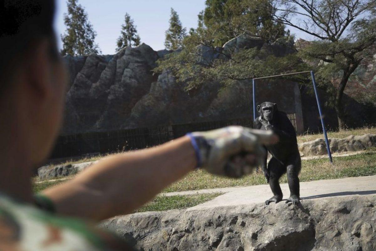 Es la principal atracción del zoológico Central Foto:AP. Imagen Por: