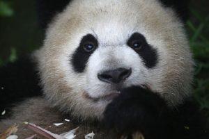 Los pandas gigantes miden unos 150 centímetros de largo Foto:Getty Images. Imagen Por:
