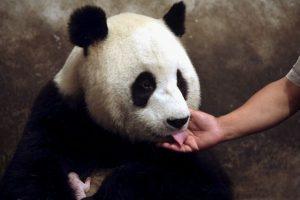 Un panda adulto puede llegar a pesar hasta 150 kilogramos. Foto:Getty Images. Imagen Por: