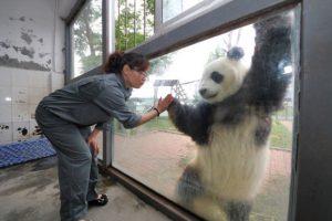 En un día comen entre 12 y 38 kilogramos de bambú. Foto:Getty Images. Imagen Por: