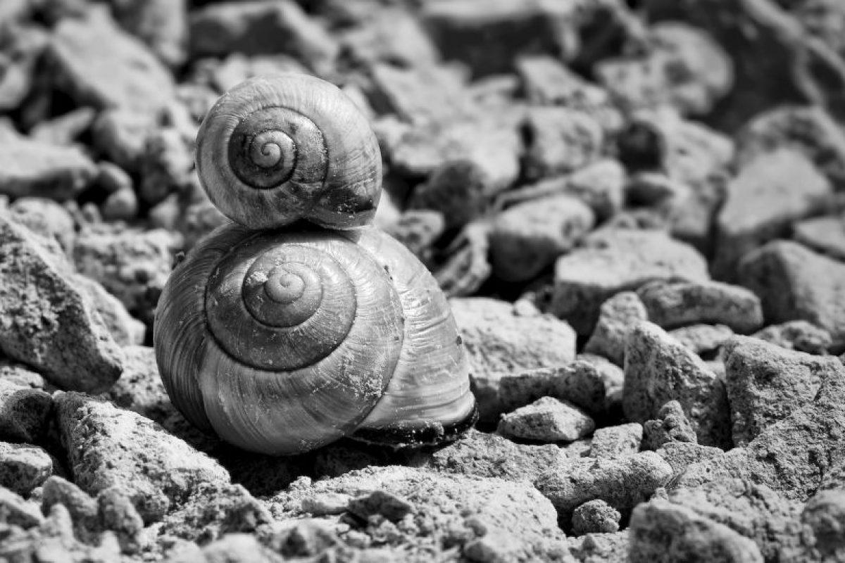 La velocidad de los caracoles ronda los 1.3-2 centímetros por segundo. Si se movieran sin parar, tardarían más de una semana en completar un kilómetro. Foto:Pixabay. Imagen Por: