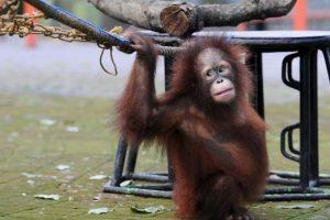 La mayor parte de su dieta se compone de fruta y hojas que recogen de los árboles de la selva. Foto:Getty Images. Imagen Por: