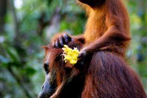 La palabra malaya orangután significa persona del bosque. Foto:Getty Images. Imagen Por: