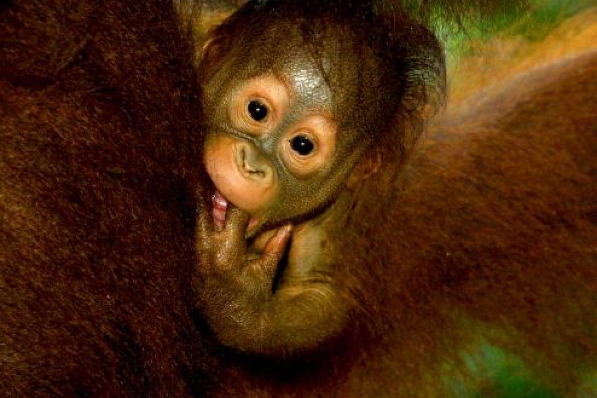 Estos primates anaranjados y de pelo largo, presentes nicamente en Sumatra y Borneo, son muy inteligentes y están estrechamente emparentados con los humanos. Foto:Getty Images. Imagen Por: