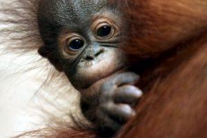 Cuando un orangután está de pie, sus manos casi tocan el suelo. Foto:Getty Images. Imagen Por: