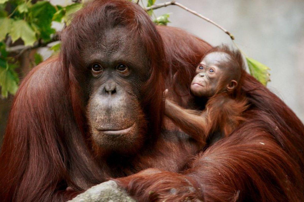Los brazos del orangután son apropiados para su estilo de vida porque pasa la mayor parte del tiempo (alrededor del 90 por ciento) en los robles de su hogar Foto:Getty Images. Imagen Por: