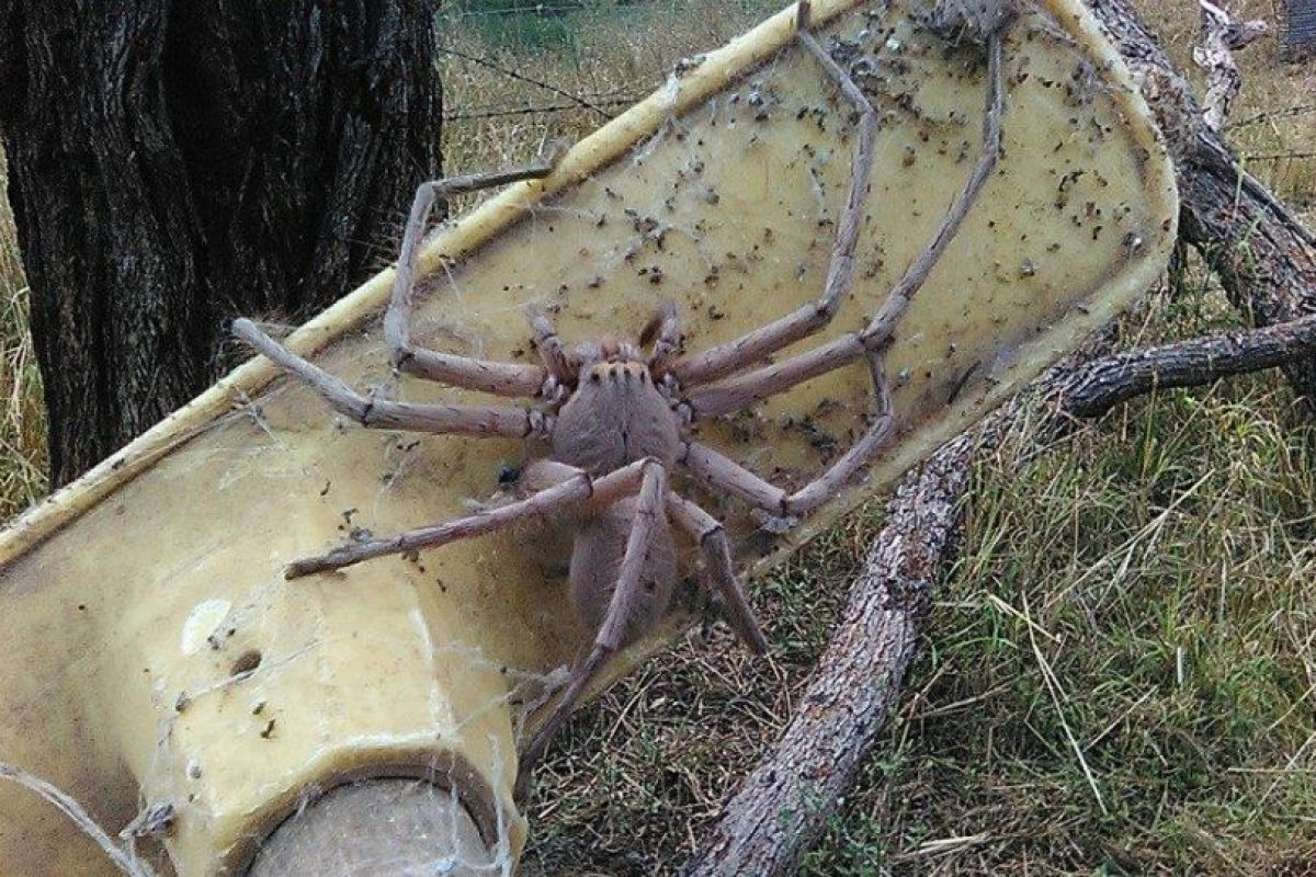 El arácnido fue encontrado hace un año por unos trabajadores en Queensland, Australia, quienes le dieron el nombre de Charlotte. Foto:Reproducción Facebook. Imagen Por:
