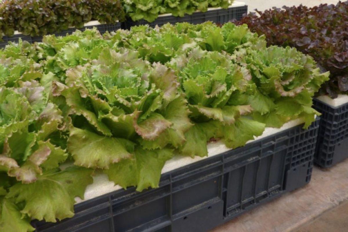Según la Universidad de Talca, el autocultivo de frutas y verduras puede generar un ahorro de entre 40 y hasta 100 mil pesos mensuales, dependiendo de la amplitud de la plantación y la época del año. Foto:Captura. Imagen Por: