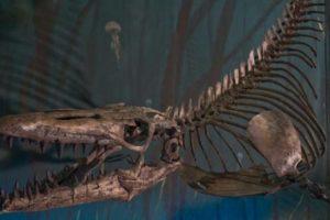 Paleontólogos chilenos descubrieron los restos fósiles de un inmenso mosasaurio, una especie de lagarto gigante considerado el mayor de los depredadores marinos del periodo Cretácico que habitó en la Antártida, de acuerdo con los resultados de una investigación científica difundida este martes en Santiago. Foto:Efe. Imagen Por: