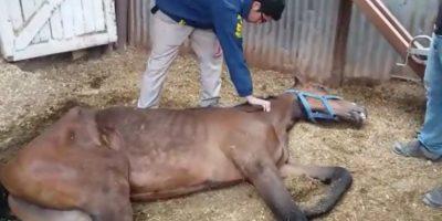 Descubren dramático caso de maltrato animal al interior del hipódromo de Arica
