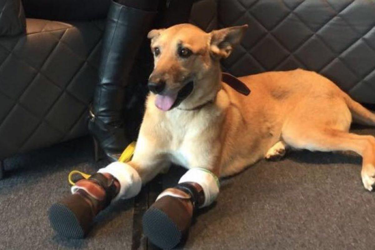 Sólo sus llamativas prótesis dan cuenta de que algo ha pasado con este perro, que hasta los diez meses de edad fue torturado por traficantes. Foto:Reproducción Facebook Milagros Caninos. Imagen Por: