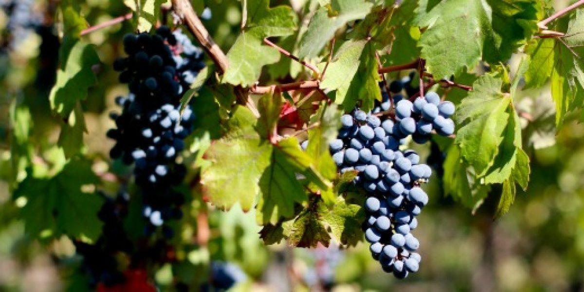 El cambio climático produce los primeros vinos en la Patagonia chilena